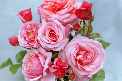 http://www.rosesuk.com/gfx/media/home/aroses/aloha_8.jpg