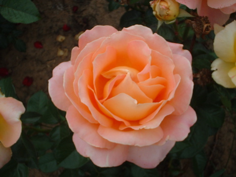 Alpine Sunset (Rose)