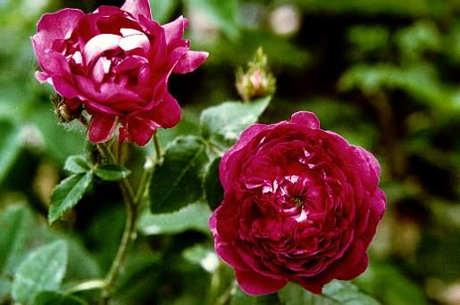 Belle De Crecy (Rose)