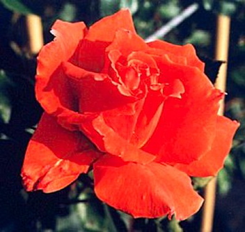 Bright Fire (Rose)