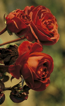Brown Velvet (Rose)