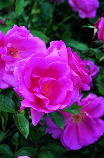 Carefree Beauty (Rose)