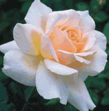 Chandos Beauty (Rose)