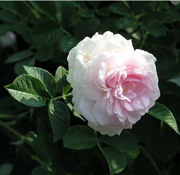 Chloris (Rose)