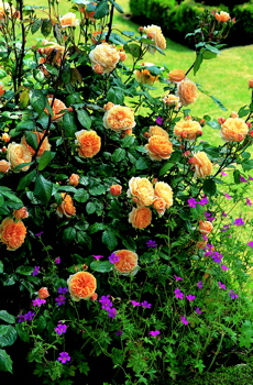 Crown Princess Margareta (Rose)