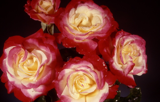 Double Delight (Rose)