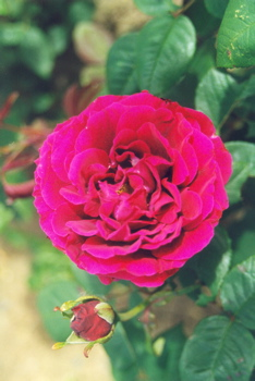 Duke Of Wellington (Rose)