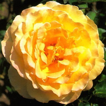 Dutch Gold (Rose)