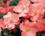 Flower Carpet � Coral (Rose)