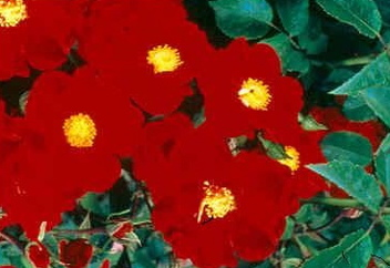 Flower Carpet � Red Velvet (Rose)