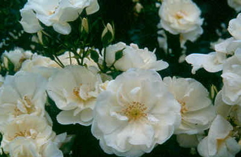 Flower Carpet � White (Rose)