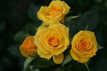 Flower Power Gold (Rose)