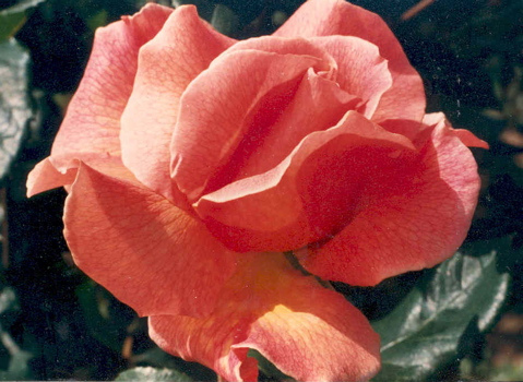 Fragrant Dream (Rose)