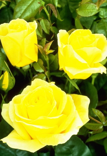 Fragrant Gold (Rose)