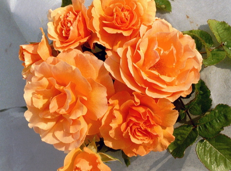 Roses By Colour › Orange