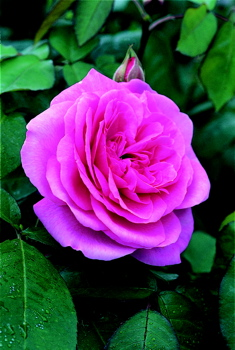 Gertrude Jekyll  (Rose)