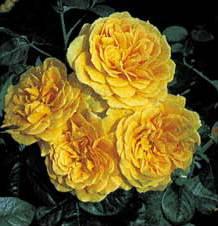 Golden Years (Rose)