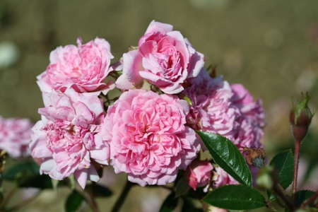 Graciously Pink (Rose)
