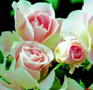 Roses By Colour › Light