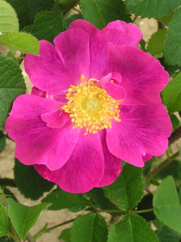 La Belle Sultane (Rose)
