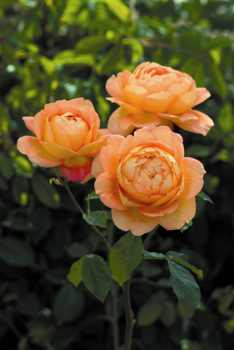 Lady Of Shalott� (Rose)