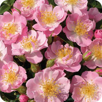 The Lakeland Rose (Rose)