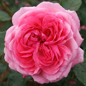La Rose De Molinard  (Rose)
