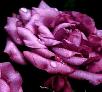 Lavender Jewel (Rose)