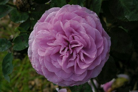 Lavender Ice � (Rose)