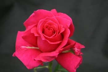 Macon Rouge (Rose)