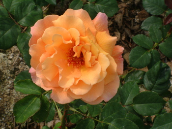 Moriah (Rose)