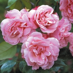 Old Blush China (Rose)