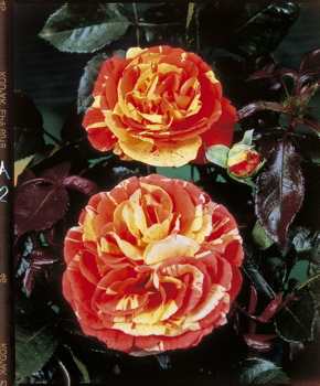 Oranges And Lemons (Rose)