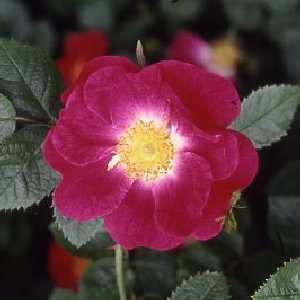 Anne Of Geierstein (Rose)