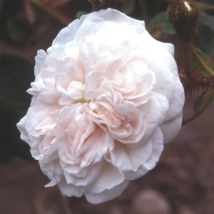Blanche Moreau (Rose)