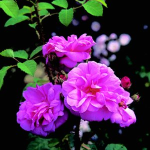Common Moss (Rose)