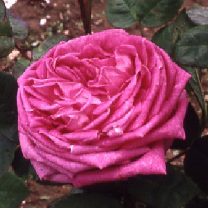 Comtesse Ccile De Chabrillant (Rose)