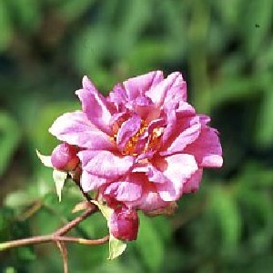 Duke Of York (Rose)