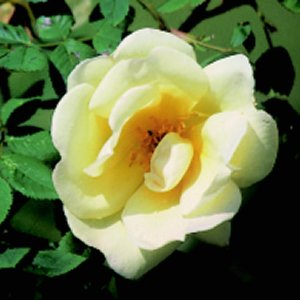 Frhlingsgold (Rose)