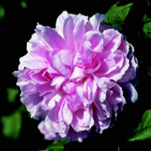 Jacques Cartier (Rose)