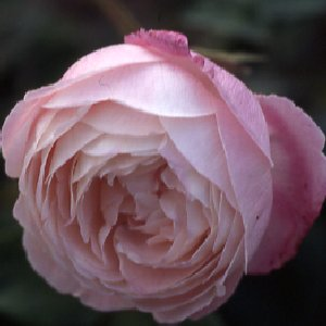 Madame Pierre Oger (Rose)