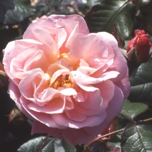 Nymphenburg (Rose)