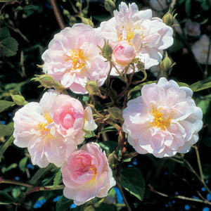 Paul's Himalayan Musk (Rose)