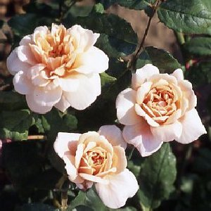 Perle D'or (Rose)