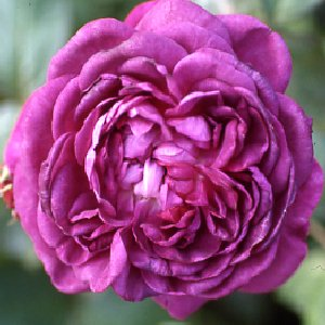 Reine Des Violettes (Rose)