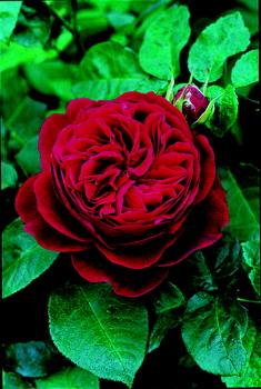 L D Braithwaite Roses UK