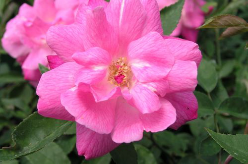 parsons pink china roses uk