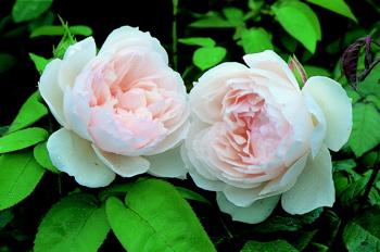 The Generous Gardener Roses Uk