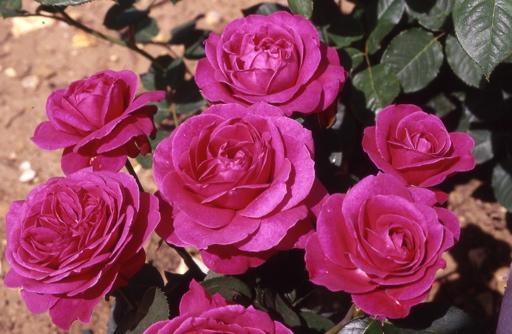 Tower Bridge Roses Uk