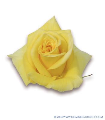 Rose Type